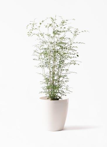 観葉植物 シマトネリコ 6号 ラスターポット 付き