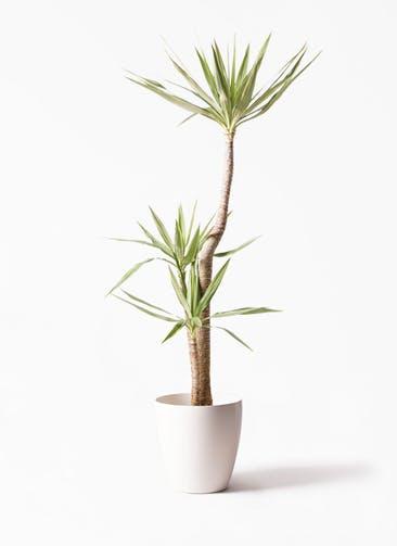 観葉植物 ユッカ 10号 斑入り ラスターポット 付き