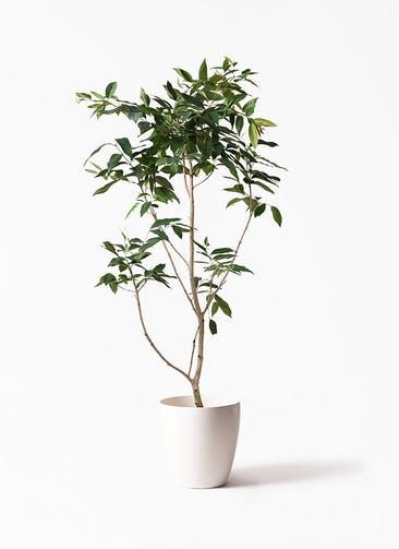 観葉植物 アマゾンオリーブ (ムラサキフトモモ) 10号 ラスターポット 付き