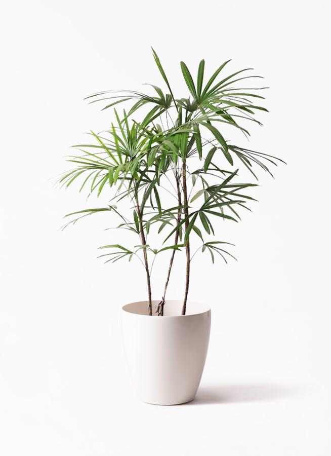 観葉植物 シュロチク(棕櫚竹) 8号 ラスターポット 付き
