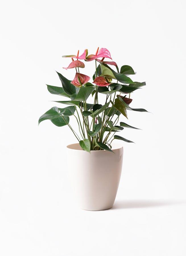 観葉植物 アンスリウム 6号 ピンクチャンピオン ラスターポット 付き