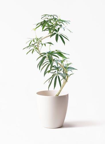 観葉植物 シェフレラ アンガスティフォリア 8号 曲り ラスターポット付き