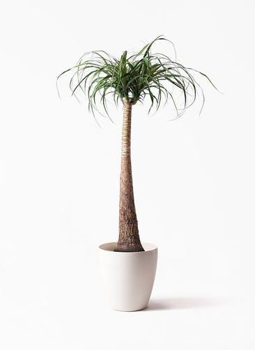 観葉植物 トックリラン ポニーテール 8号 ラスターポット 付き