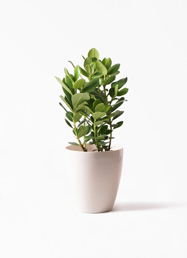 観葉植物 クルシア ロゼア プリンセス 6号 ラスターポット 付き