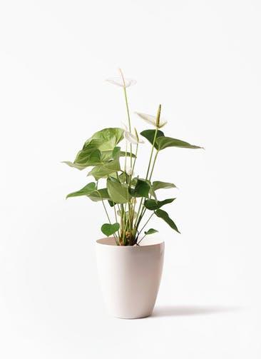 観葉植物 アンスリウム 6号 スミ ラスターポット 付き