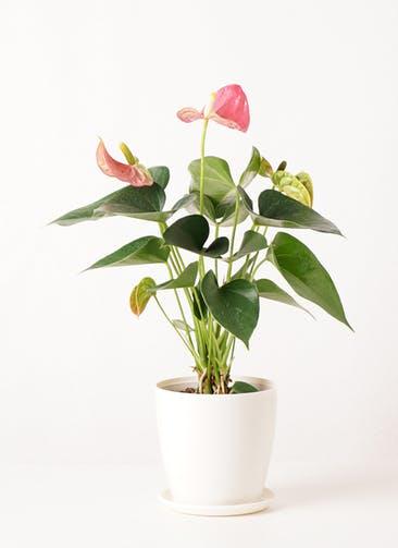観葉植物 アンスリウム 4号 ピンクチャンピオン ラスターポット 付き