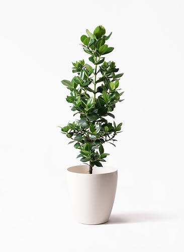 観葉植物 クルシア ロゼア プリンセス 8号 ラスターポット 付き