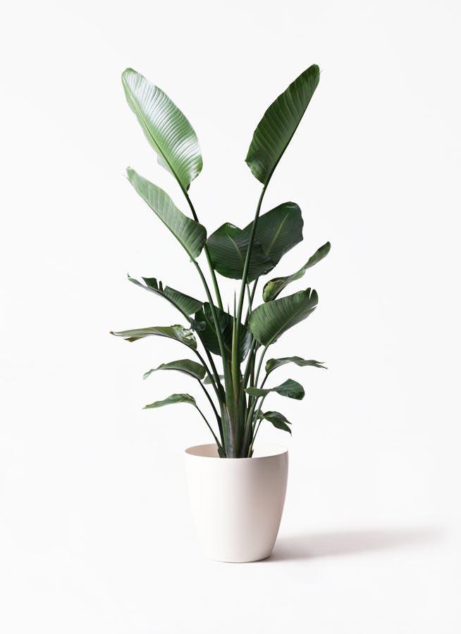 観葉植物 オーガスタ 10号 ラスターポット 付き