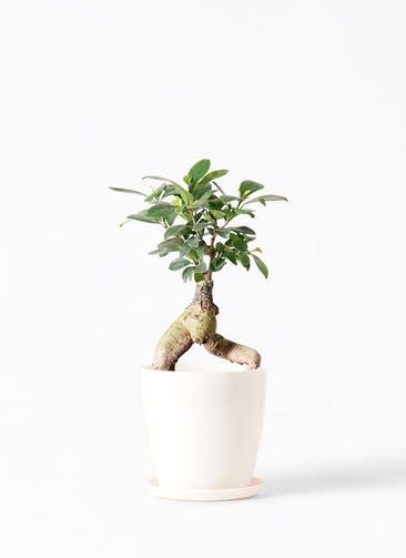 観葉植物 ガジュマル 4号 股仕立て ラスターポット 付き