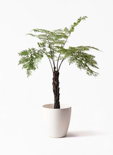 観葉植物 ヘゴ 8号 ラスターポット 付き