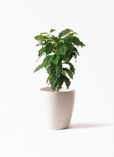 観葉植物 コーヒーの木 6号 ラスターポット 付き