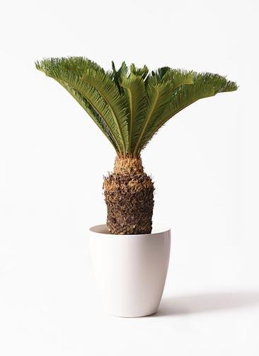 観葉植物 ソテツ 10号 ラスターポット 付き