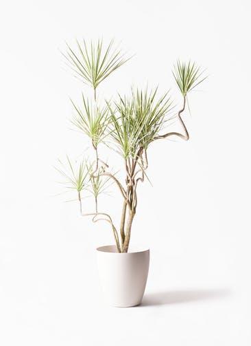 観葉植物 コンシンネ ホワイポリー 10号 曲り ラスターポット 付き