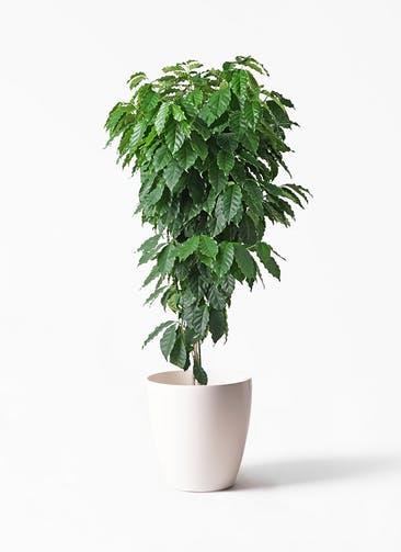 観葉植物 コーヒーの木 10号 ラスターポット 付き