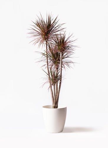 観葉植物 ドラセナ コンシンネ レインボー 10号 ストレート ラスターポット 付き