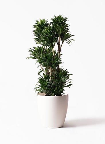 観葉植物 ドラセナ コンパクター 10号 ラスターポット 付き