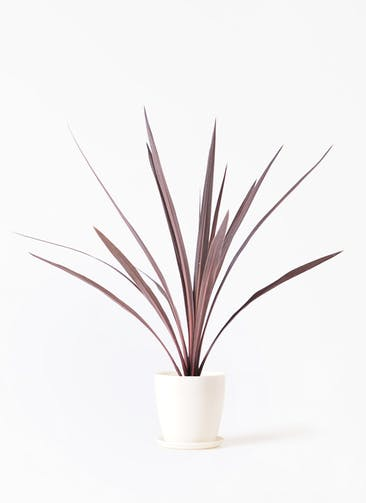観葉植物 コルディリネ レッドスター 4号 ラスターポット 付き
