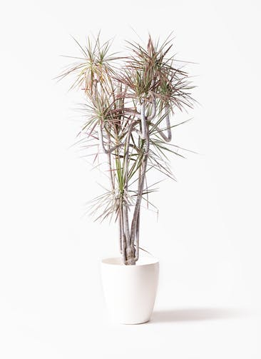 観葉植物 ドラセナ コンシンネ レインボー 10号 曲り ラスターポット 付き
