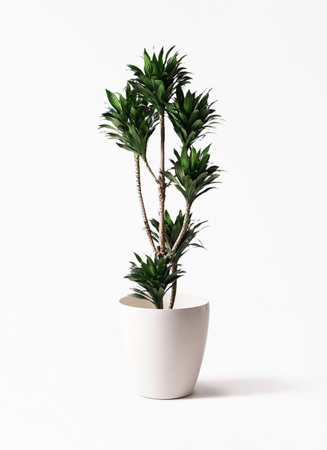 観葉植物 ドラセナ コンパクター 8号 ラスターポット 付き