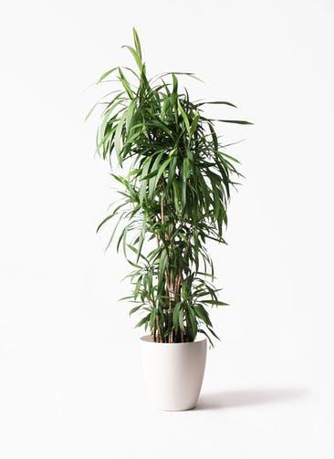 観葉植物 コルディリネ (コルジリネ) ストリクタ 10号 ラスターポット 付き