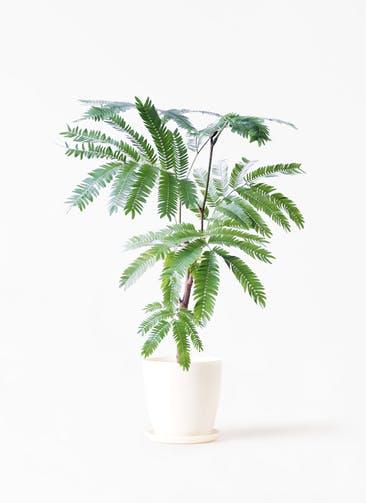 観葉植物 エバーフレッシュ 4号 ボサ造り ラスターポット 付き