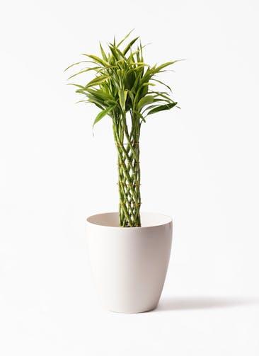 観葉植物 ドラセナ ミリオンバンブー(幸運の竹) 7号 ラスターポット 付き