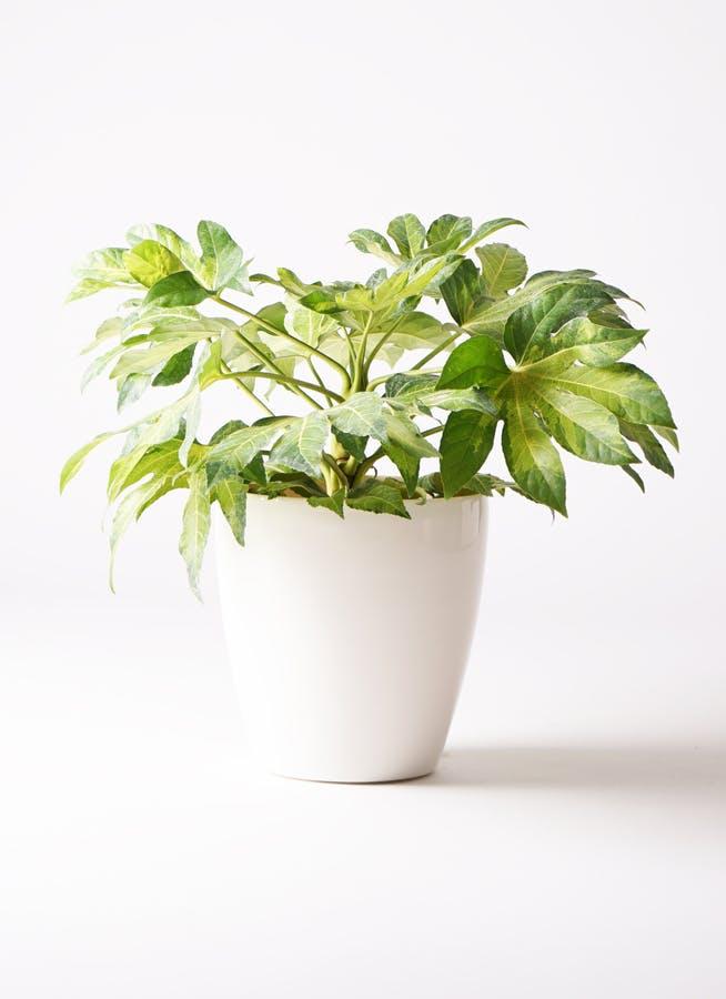 観葉植物 ヤツデ 7号 ラスターポット 付き