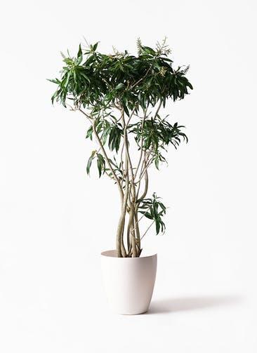 観葉植物 ドラセナ ソング オブ ジャマイカ 10号 ラスターポット 付き