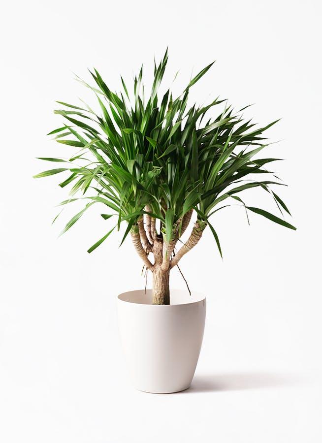 観葉植物 ドラセナ パラオ 8号 ラスターポット 付き