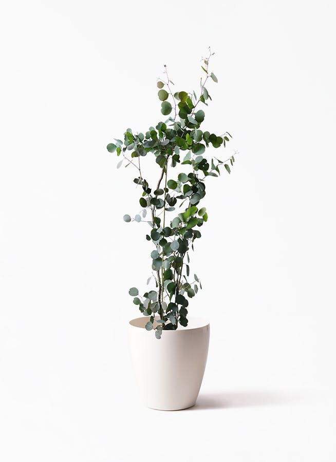 観葉植物 ユーカリ 8号 ポリアンセモス ラスターポット 付き