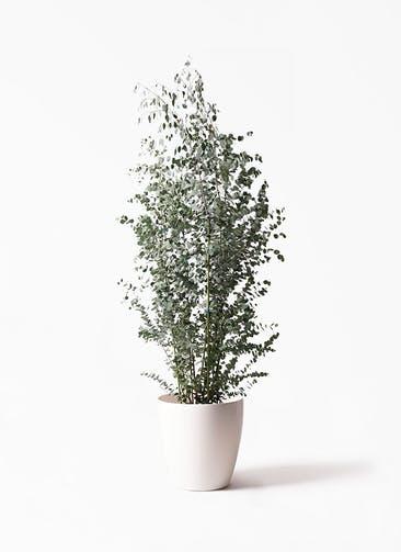 観葉植物 ユーカリ 10号 グニー ラスターポット 付き