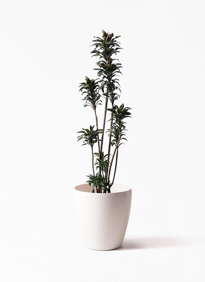 観葉植物 ドラセナ パープルコンパクタ 8号 ラスターポット 付き
