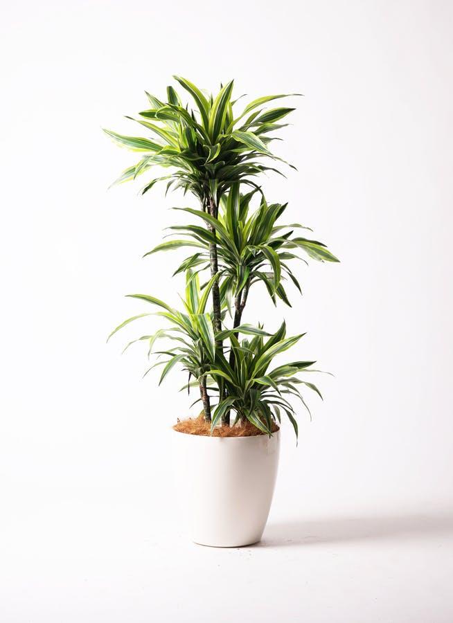 観葉植物 ドラセナ ワーネッキー レモンライム 10号 ラスターポット 付き