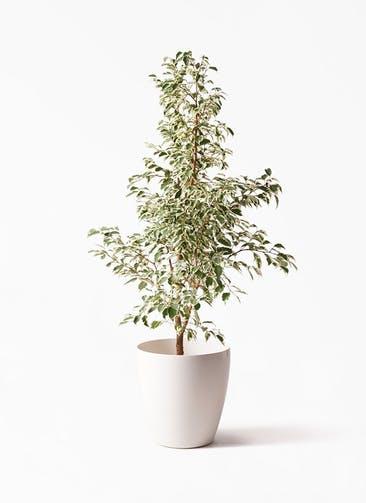 観葉植物 フィカス ベンジャミン 8号 スターライト ラスターポット 付き