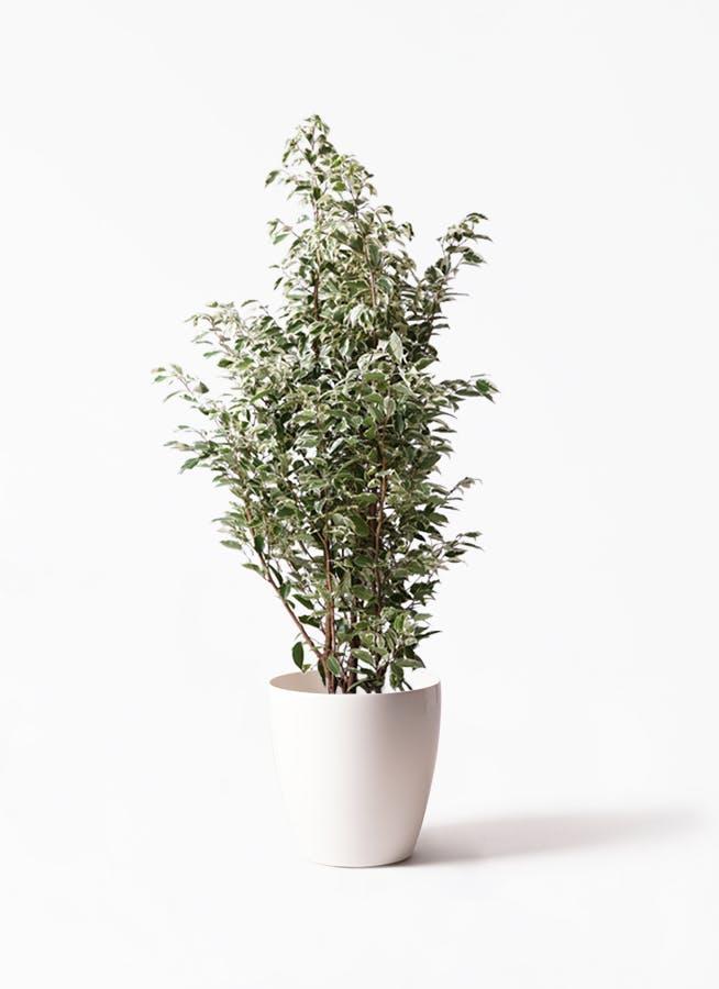 観葉植物 フィカス ベンジャミン 10号 スターライト ラスターポット 付き
