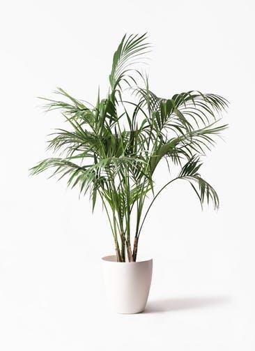 観葉植物 ケンチャヤシ 10号 ラスターポット 付き