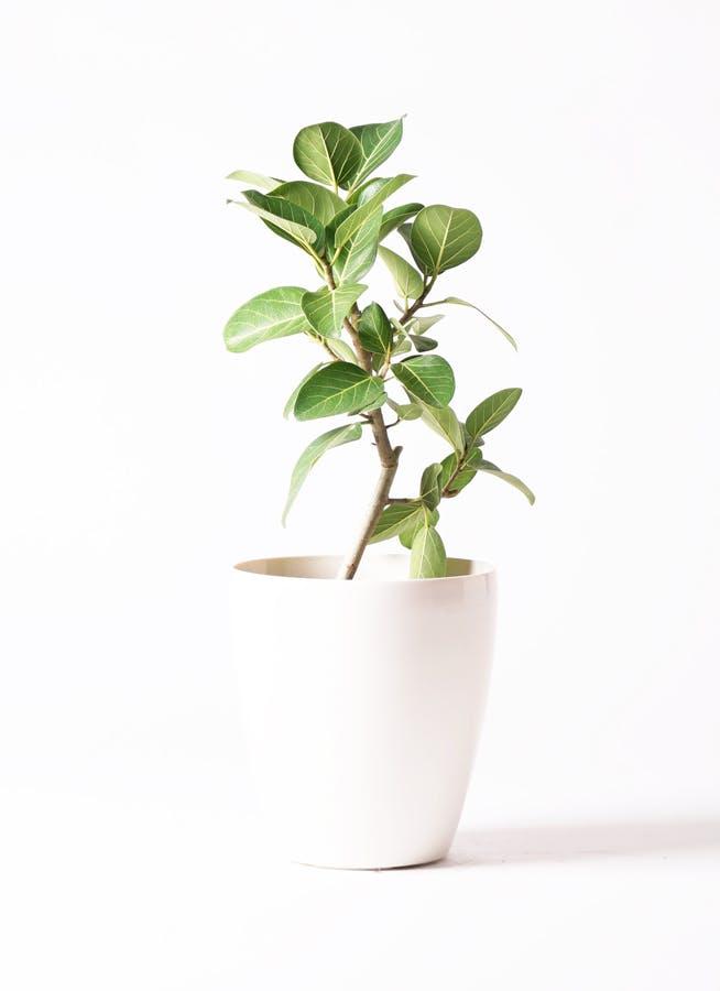 観葉植物 フィカス ベンガレンシス 6号 ストレート ラスターポット 付き