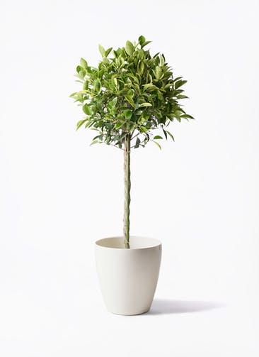 観葉植物 フィカス ベンジャミン 8号 ゴールデンスポット ラスターポット 付き