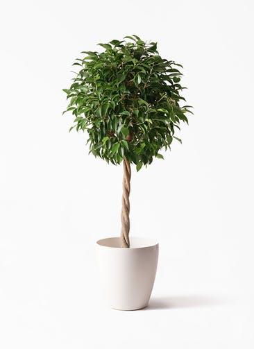 観葉植物 フィカス ベンジャミン 8号 玉造り ラスターポット 付き