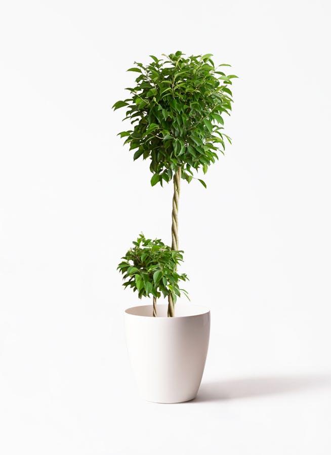 観葉植物 フィカス ベンジャミン 10号 玉造り ラスターポット 付き