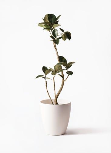 観葉植物 フィカス バーガンディ 8号 曲り ラスターポット 付き