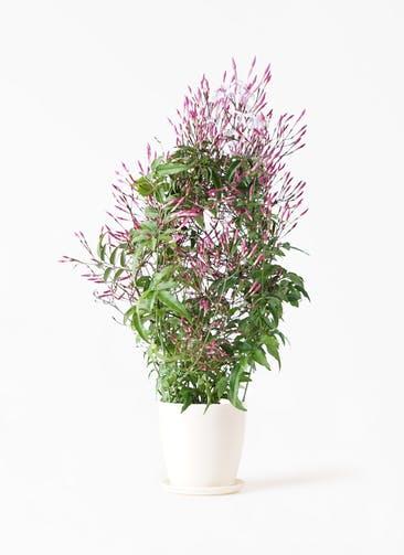 観葉植物 ハゴロモジャスミン 4号 ラスターポット 付き