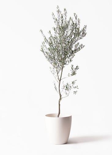 観葉植物 オリーブの木 10号 創樹 ラスターポット 付き