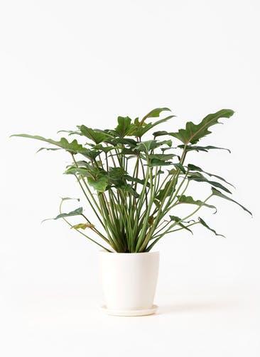 観葉植物 クッカバラ 4号 ラスターポット 付き