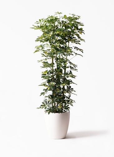観葉植物 カポック(シェフレラ) 10号 斑入り ラスターポット 付き