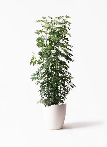 観葉植物 カポック(シェフレラ) 10号 ノーマル ラスターポット 付き