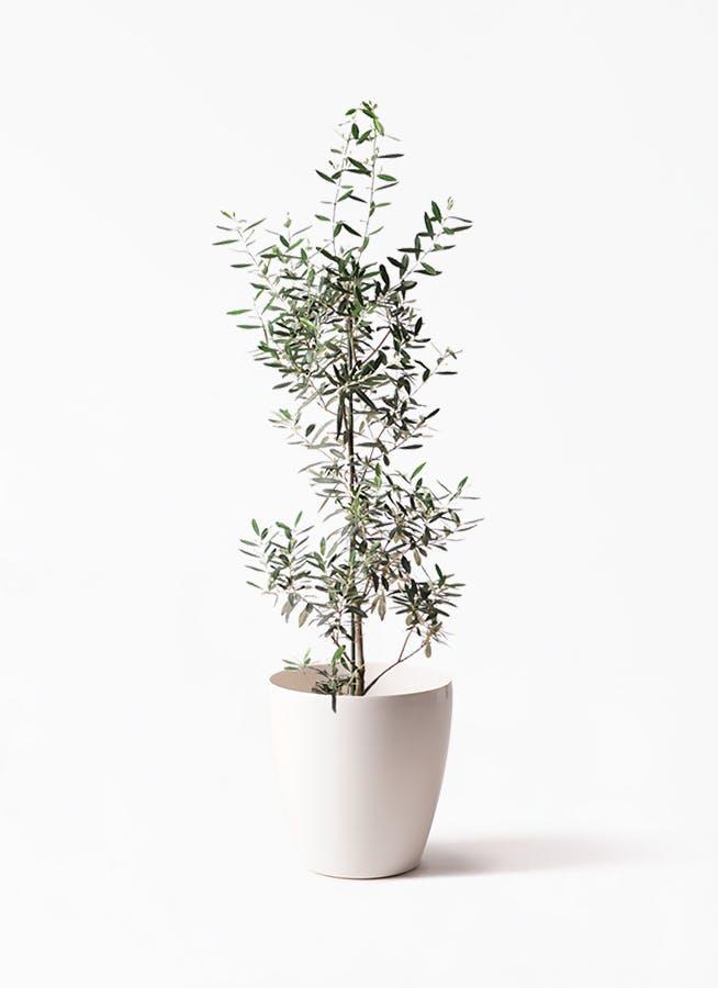 観葉植物 オリーブの木 8号 チプレッシーノ ラスターポット 付き