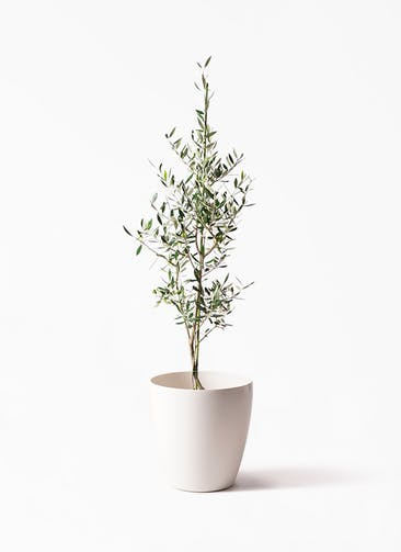 観葉植物 オリーブの木 8号 コロネイキ ラスターポット 付き