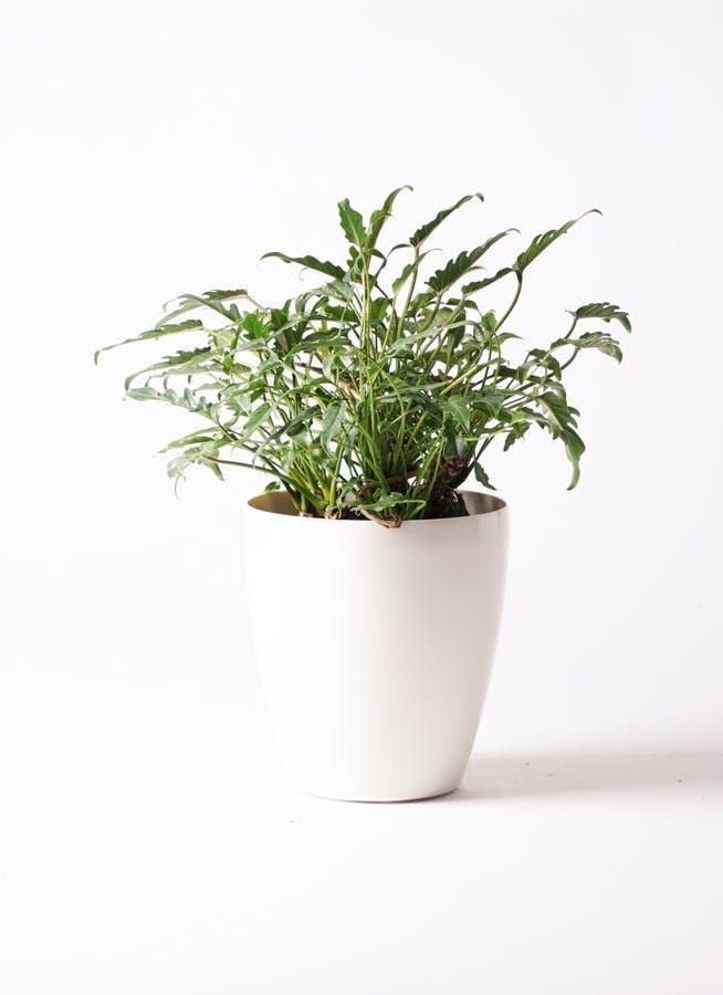 観葉植物 クッカバラ 6号 ラスターポット 付き