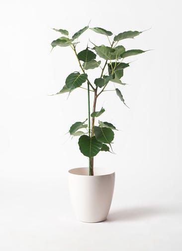 観葉植物 インドボダイジュ 8号 ラスターポット 付き